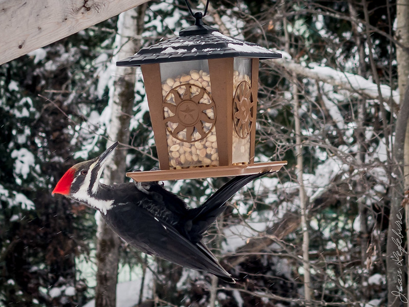 Woodpecker at feeder